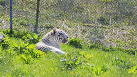White Bengal Tiger in the beautiful West Midland Safari Park Stock Images