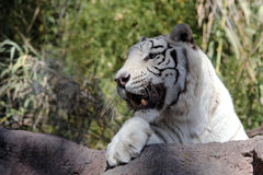 White Bengal Tiger. Big white tiger close-up Stock Photos