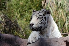 White Bengal Tiger. Big white tiger close-up Stock Photo