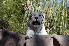 White Bengal Tiger. Big white tiger close-up Royalty Free Stock Photo