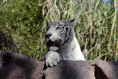 White Bengal Tiger. Big white tiger close-up Stock Photography