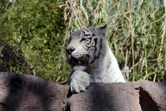 White bengal tiger. Big white tiger close-up Stock Image