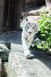 White Bengal tiger. Big White Bengal tiger at the zoo Stock Photos