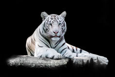 White the Bengal tiger. On a black background royalty free stock images