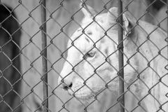 White bengal tiger in cage Stock Image