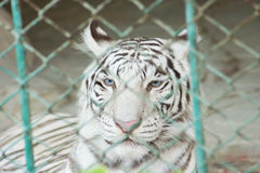 White bengal tiger in cage Stock Photography