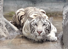 White bengal tiger. In captive environment Stock Photos