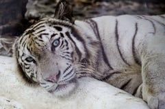 White Bengal Tiger Royalty Free Stock Image