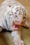 White bengal tiger cub Stock Image