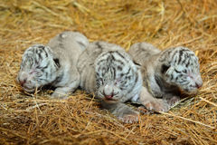 White bengal tiger cub Stock Images