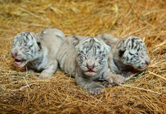 White bengal tiger cub Royalty Free Stock Photo