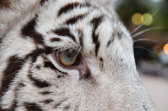 White bengal tiger eye. Close up of white bengal tiger eye Stock Photo