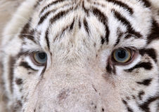 White bengal tiger eyes Stock Photography