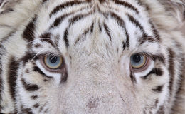 White bengal tiger eyes Royalty Free Stock Photography
