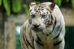 White Bengal Tiger Eyes Stalking. White bengal Tiger, Panthera Tigris Tigris Stalking victims, face view of a predator Stock Image