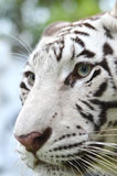 White bengal tiger face Stock Photography