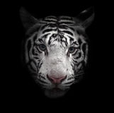 White bengal tiger face Royalty Free Stock Images