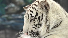 White bengal tiger face stock video footage