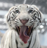 White bengal tiger face Stock Images