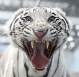 White bengal tiger face Royalty Free Stock Photo