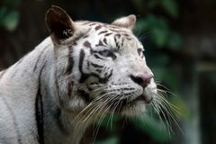 White Bengal Tiger face view. White bengal Tiger, Panthera Tigris Tigris face view Royalty Free Stock Photo