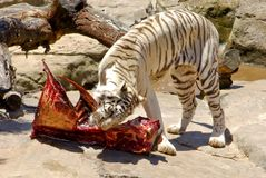 White bengal tiger feeding meat. Near water and stones Stock Images