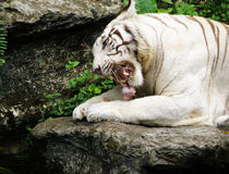 White Bengal Tiger feeding on meat. A majestic white tiger crunching bones at feeding time in the zoo.  Showing the sharp canine teeth of the large cat at close Stock Photo