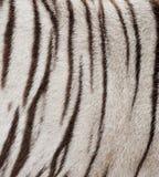 White bengal tiger fur. Textured of real white bengal tiger fur Royalty Free Stock Photos