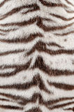 White bengal tiger fur. Textured of real white bengal tiger fur Royalty Free Stock Photo