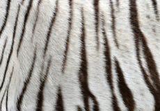 White bengal tiger fur Royalty Free Stock Photo