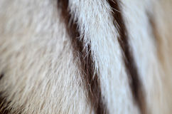 White bengal tiger fur Stock Photography