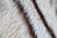 White bengal tiger fur Royalty Free Stock Photography