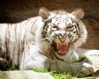White Bengal tiger growling Royalty Free Stock Photography