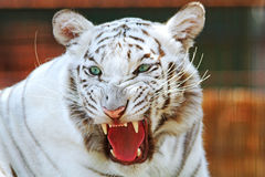 White bengal tiger head. Head shot of a bengal white tiger royalty free stock images