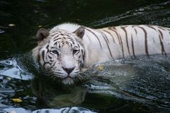 White bengal tiger is hunting outdoors. Hungry predator hides in the river and ready to attack royalty free stock photos