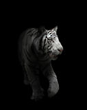 White bengal tiger isolated. White bengal tiger in the dark night Royalty Free Stock Image
