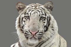 White bengal tiger isolated. On gray background Royalty Free Stock Image