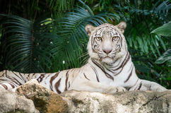 White bengal tiger Royalty Free Stock Photo