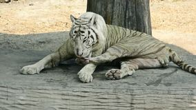 White Bengal Tiger is licking and cleaning its paw and leg stock video footage