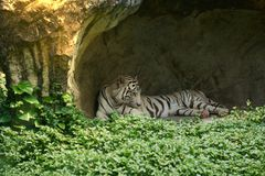 White or bengal tiger lie down in small cave with grass in foreg royalty free stock images