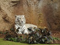 White Bengal Tiger, Loro Parque, Tenerife. A White Bengal Tiger relaxing in Loro Parque, Tenerife, Canary Islands Stock Photo