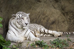 White bengal tiger lying. Single white bengal tiger lying in zoo Stock Photography