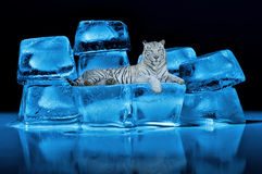 White Bengal tiger. Lying on blue ice cubes Stock Photos