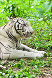White bengal tiger Stock Photo