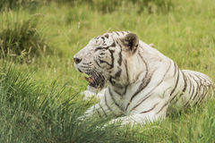 White bengal tiger. Lying in the grass Stock Photos