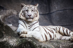 White bengal tiger, lying, relax, and watching on cliff Royalty Free Stock Photography