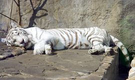 White bengal tiger   mammal predator Royalty Free Stock Images