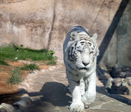 White Bengal Tiger. Moscow zoo. Russia Royalty Free Stock Images