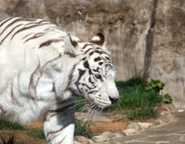 White Bengal Tiger. Moscow zoo. Russia Stock Photography