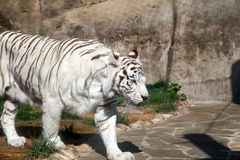 White Bengal Tiger. Moscow zoo. Russia Stock Images